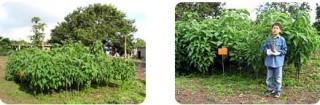 ピースボートが植林した苗が大きく育っています(2007年)